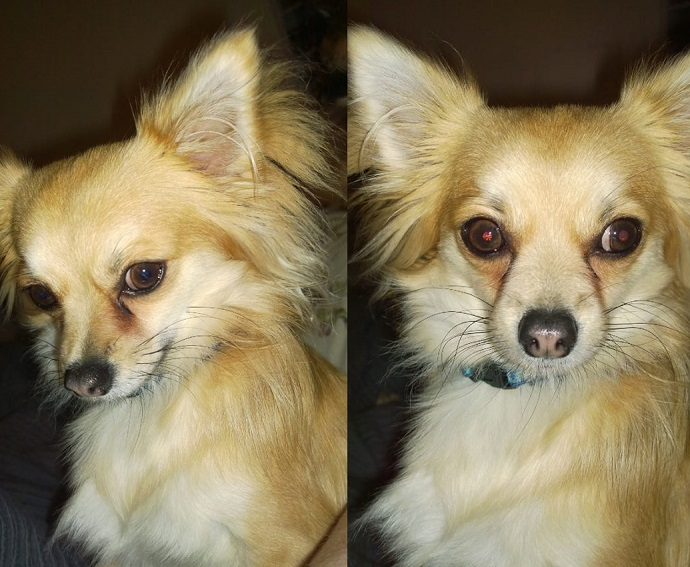 Chihuahua Dogs For Adoption Uk