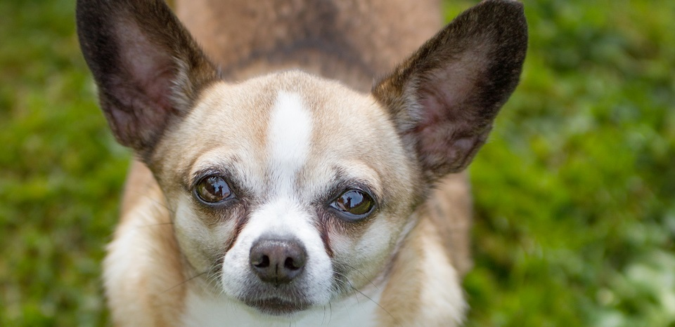 Chihuahua Rescue We Rescue Chihuahuas At Chihuahua Rescue As Seen In ...