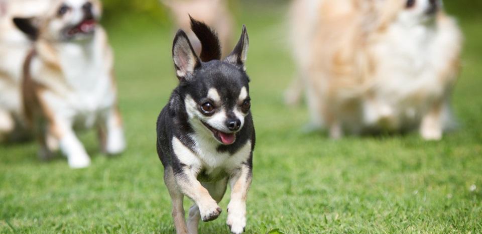 Chihuahua-Rescue-UK-3
