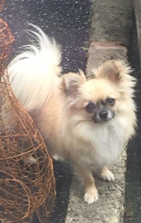 Chihuahua Rescue UK, Adopt, Don't Shop! » Dogs Needing Adoption
